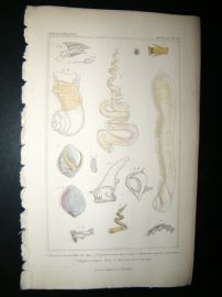 Cuvier C1835 Antique Hand Col Print. Shells #28